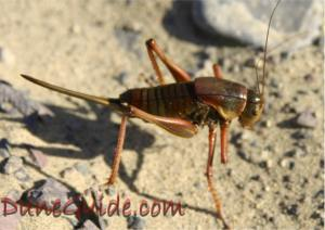 Mormon Crickets were everywhere at Sand Mountain